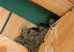 The mess swallows make