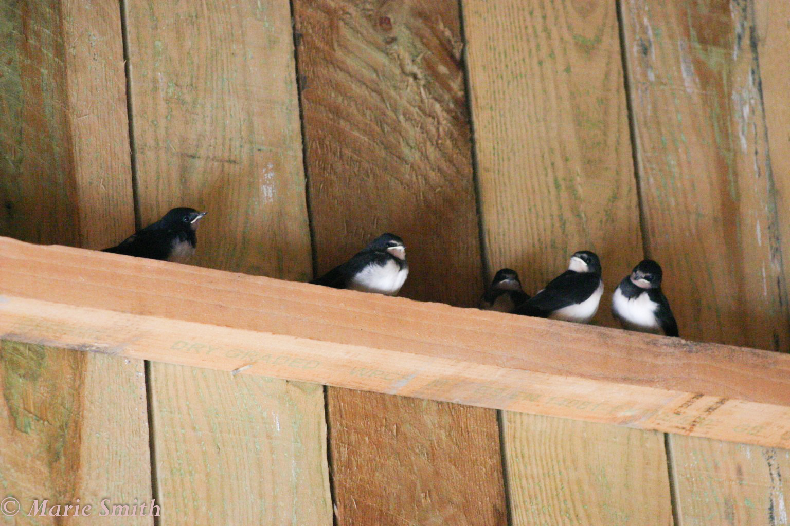 swallows in the shed