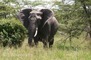 African Elephant She Wordsmiths