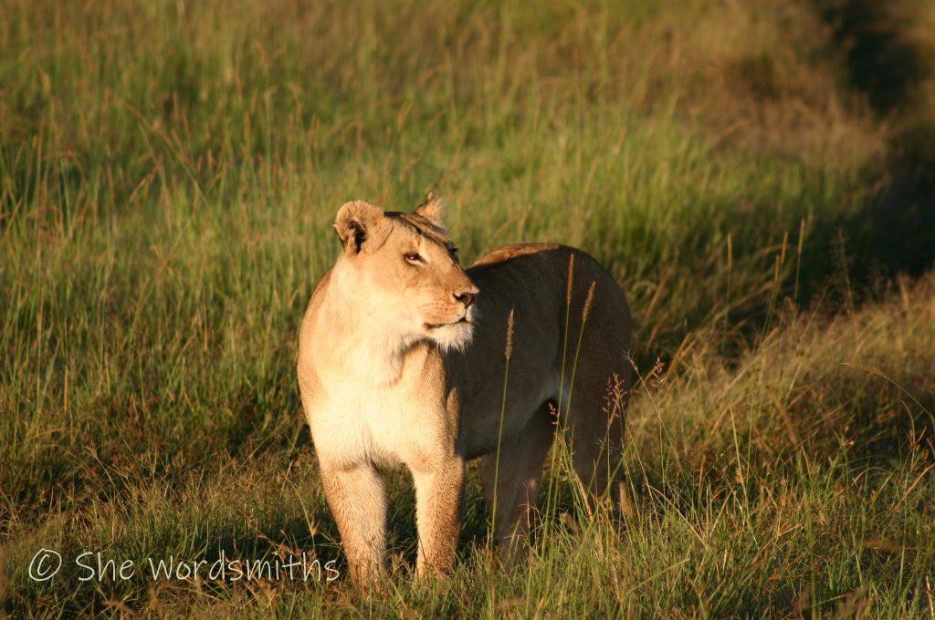 Africa Kenya Lioness