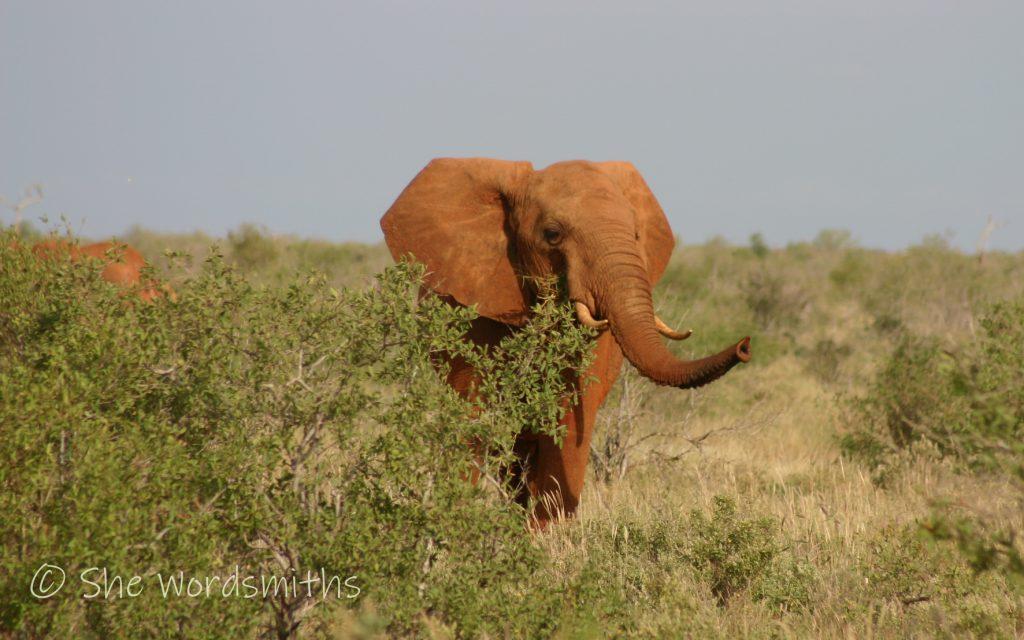 Elephant in Tsavo East
