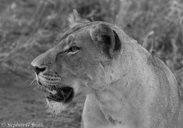 Black and white image lioness