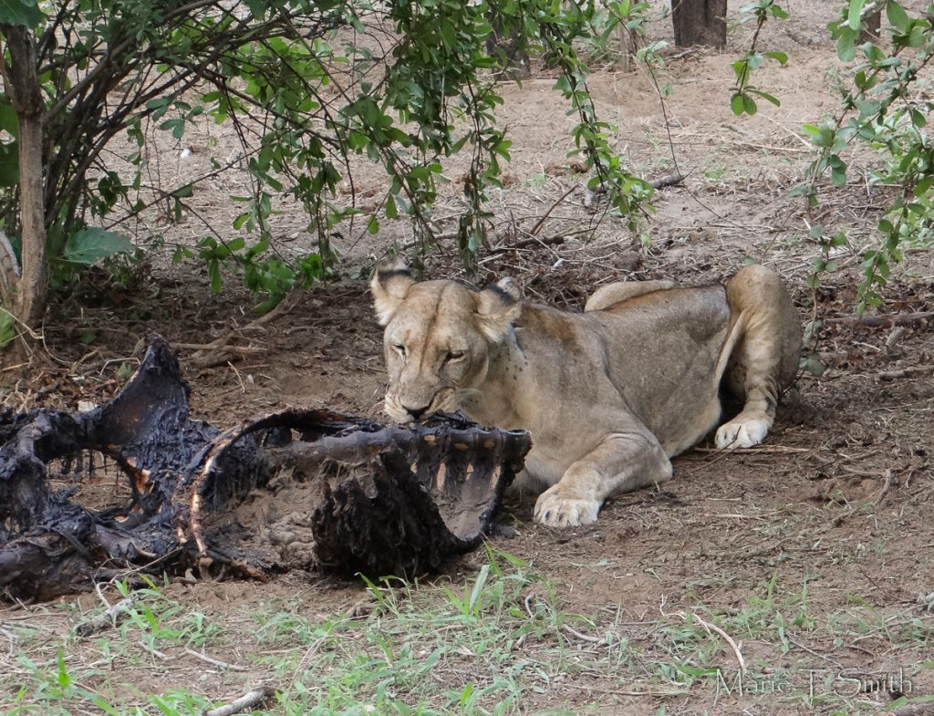 Picture of lion eating