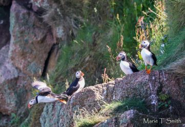 Funny group of puffins