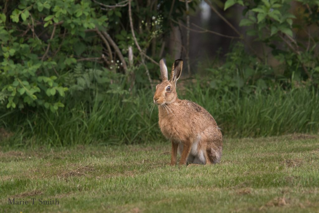 It's hard to garden when you have hungry hares