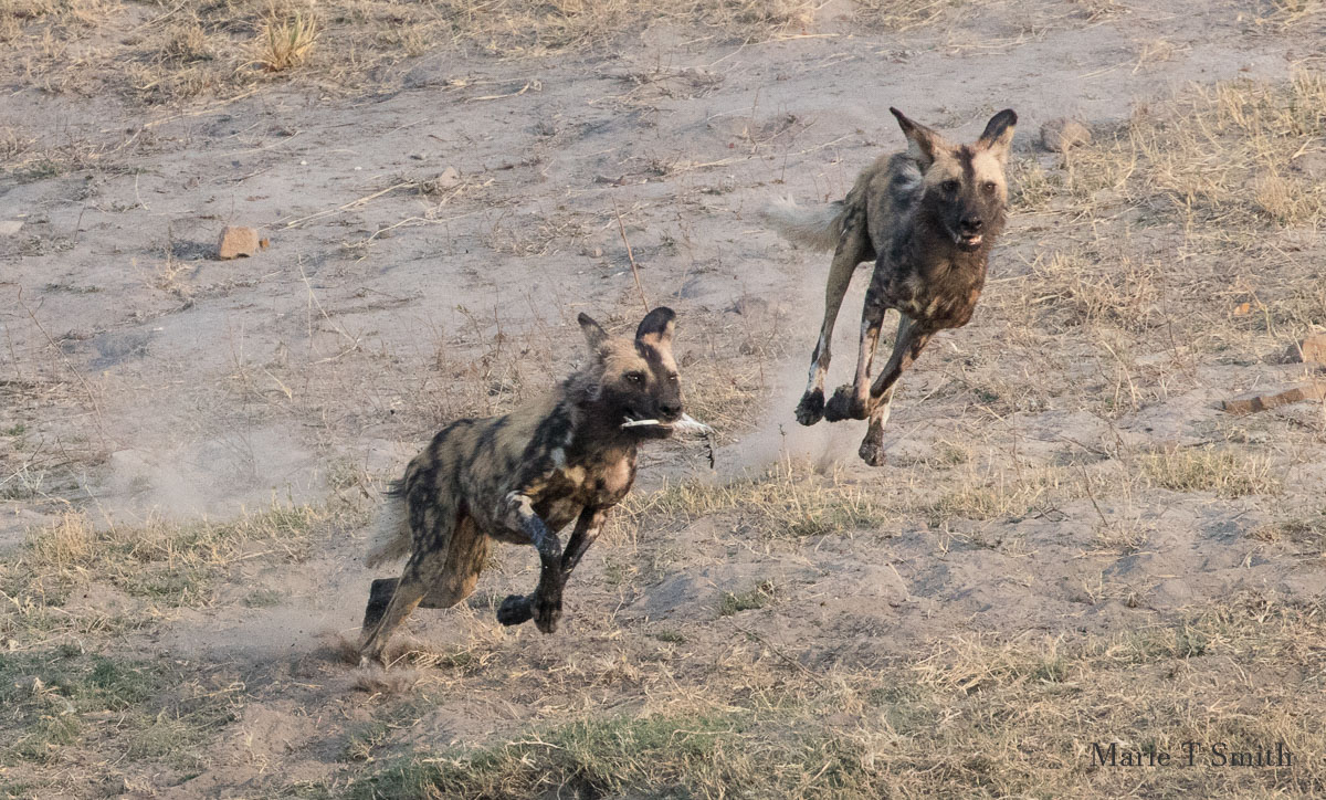 Wild dogs in play