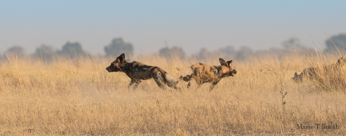 Right place right time Wild dogs on the horizon