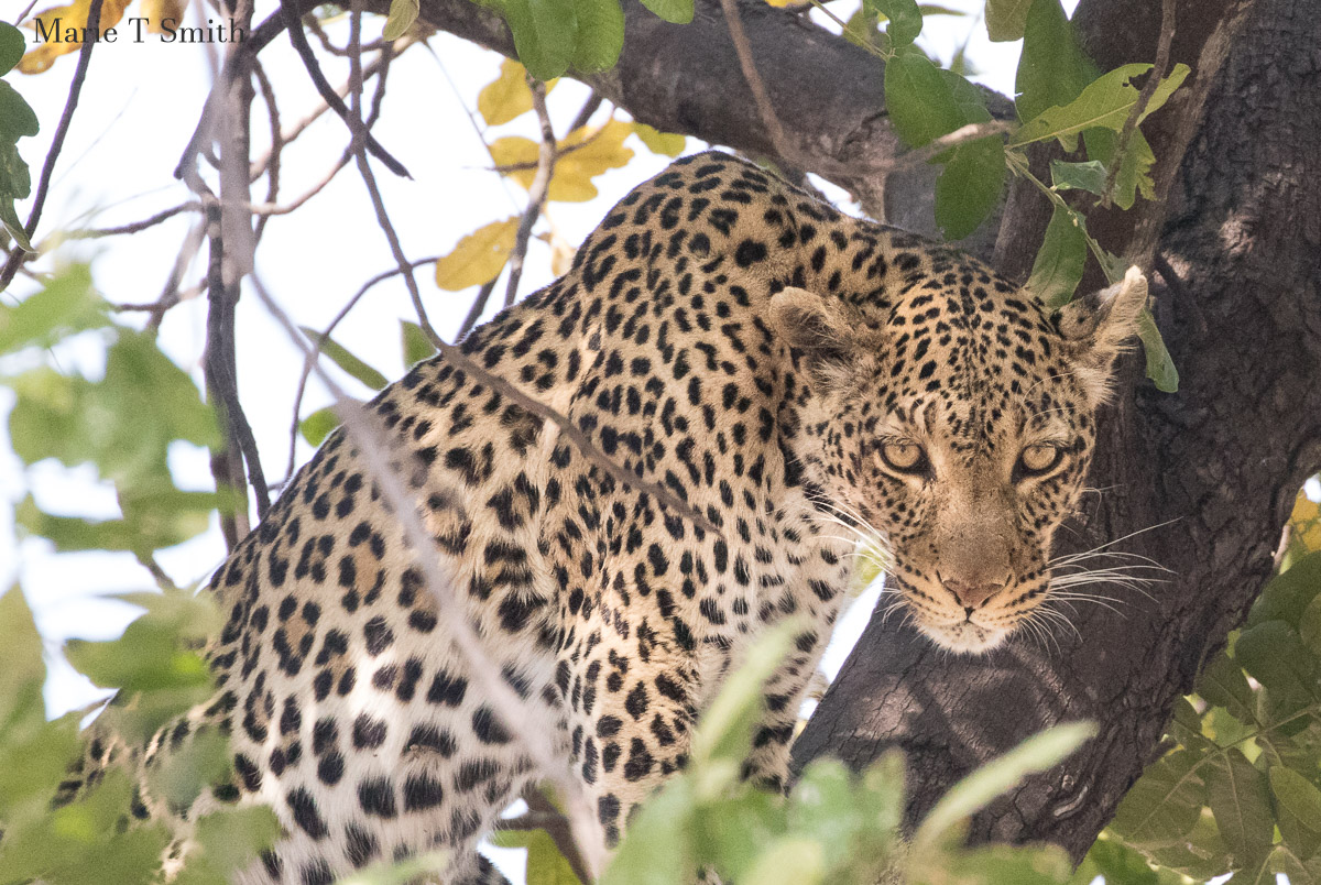 Getting in the right place in the vehicle allows a good view of the leopard