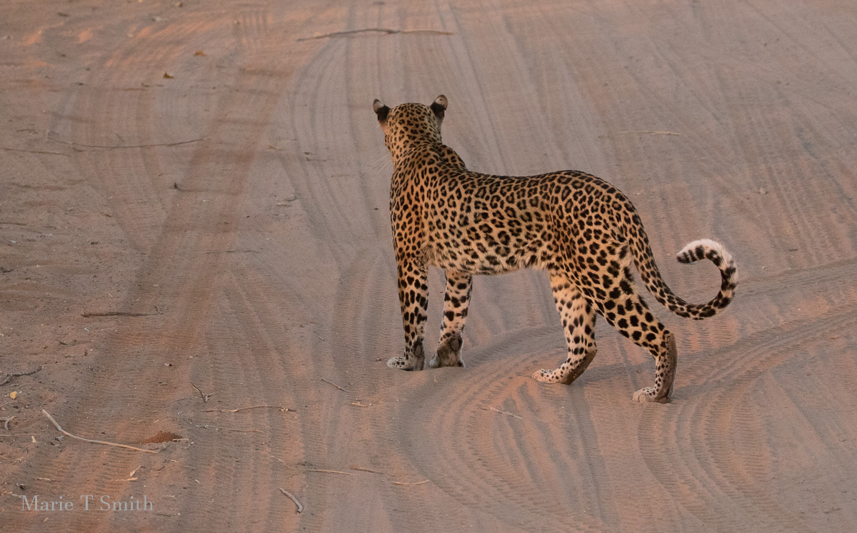 When your vehicle is the right place - look at the tracks, this leopard was right in the road