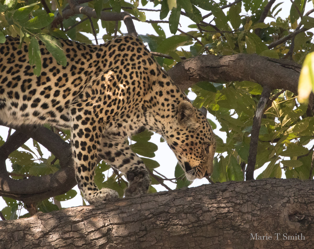 Right place right time we nearly missed this leopard