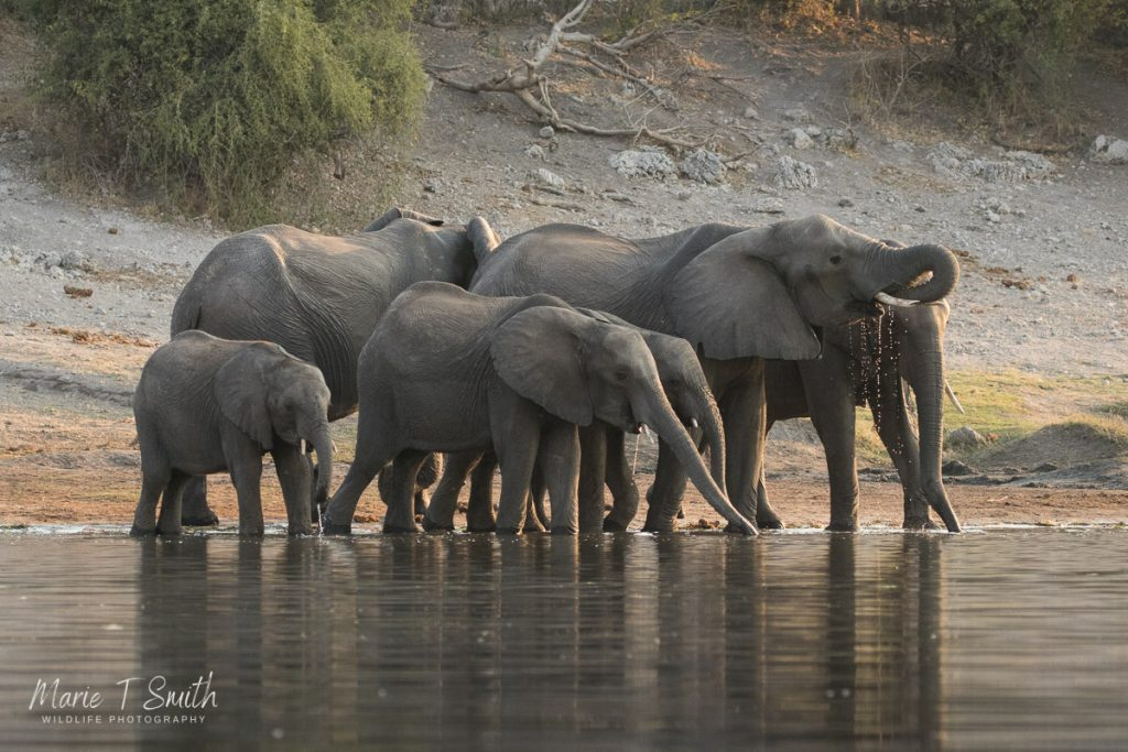 Showing how the elephant comes to the river to drink