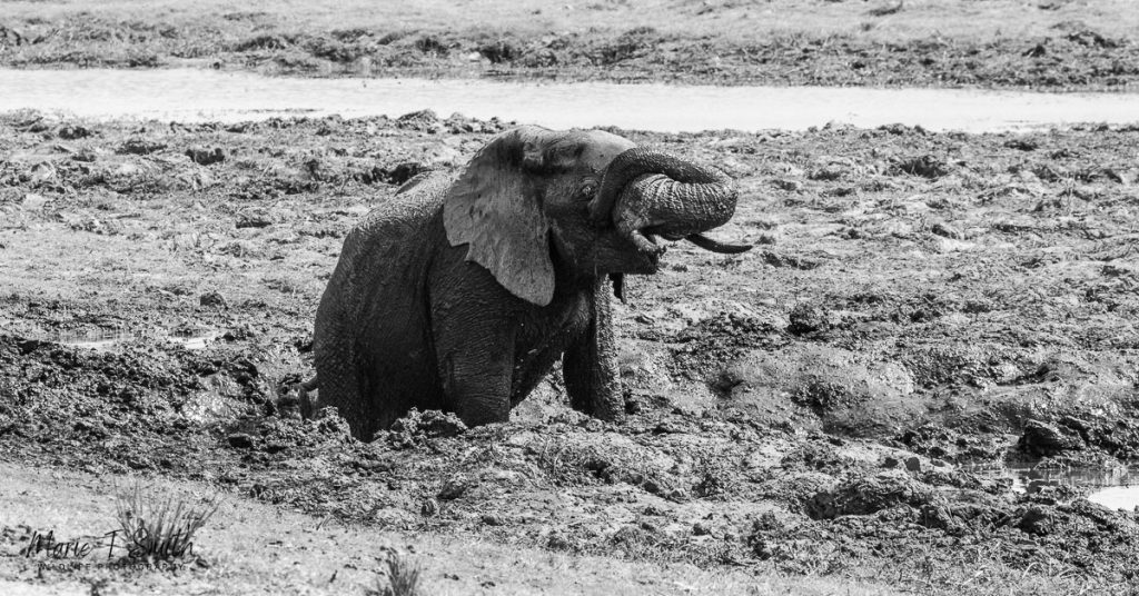 A black and white image of an elephant mud bath