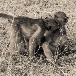 Two baboons kiss - n=metaphor for flirting with writing