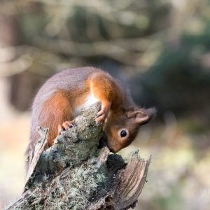 A heartwarming squirrel looking for nuts in a tree stump