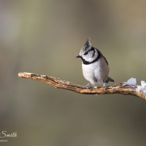 Crested tit sideways to camera sat on a branch in spring with sunlight on its breast
