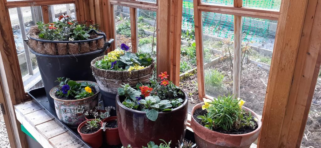 A picture of planted pots in a greenhouse woth pretty colourful flowers